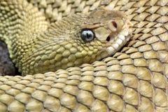 Mexican west-coast rattlesnake stock image
