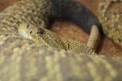 Mexican West Coast Rattlesnake Stock Image