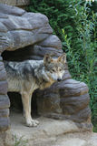 Mexican Wolf Stock Images