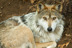 Mexican Wolf Royalty Free Stock Photos