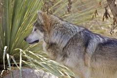 Mexican Wolf. A side portrait of a mexican wolf Royalty Free Stock Photo
