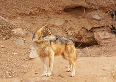 Mexican wolf Royalty Free Stock Images