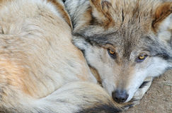 Mexican Wolf Royalty Free Stock Image