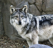 Mexican Wolf. A captive Mexican Wolf at The Living Desert in Palm Desert, CA Royalty Free Stock Photography