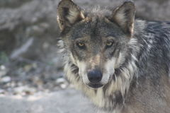 MEXICAN WOLF. This is a Mexican Wolf at the Arizona Sonora Desert Museum in Tucson, Arizona. You could find these wolves in Southern Arizona and in Sonora Royalty Free Stock Image