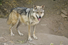 Mexican Wolf (Lobo). Mexican Wolf (Canis lupus baileyi) on the hunt in the Sonoran Desert Royalty Free Stock Images