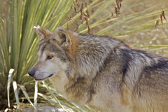 Mexican Wolf Portrait. A close up  portrait of a mexican wolf Royalty Free Stock Photos