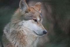 Mexican Wolf Portrait. Portrait of a Mexican Wolf's head framed by tree branches royalty free stock images