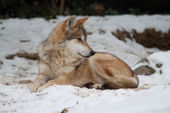 Mexican Wolf in Snow. Mexican Wolf relaxing in the snow stock images