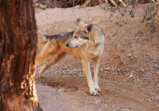 Mexican wolf stretches Royalty Free Stock Images