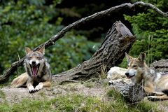 Free Mexican Wolves   604948 Stock Photos - 194774373