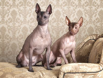 Mexican xoloitzcuintle dogs on a antique couch Stock Photo