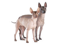 Mexican xoloitzcuintle dogs isolated on white Stock Photos