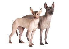 Mexican xoloitzcuintle dogs, white background Stock Photography