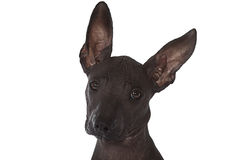 Mexican xoloitzcuintle puppy. Three month old Mexican xoloitzcuintle puppy against white background Royalty Free Stock Photos