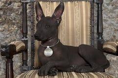 Mexican xoloitzcuintle puppy. Portrait of Mexican xoloitzcuintle puppy posing on an antique chair Stock Photos