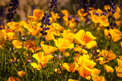 Mexican Yellow Poppies Stock Photos