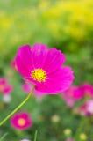 Mexicano cor-de-rosa Diasy Imagens de Stock