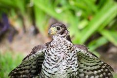 Mexicano Eagle imagenes de archivo