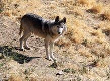 Mexicano en peligro Gray Wolf Imagen de archivo