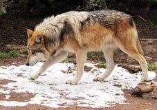 Mexicano en peligro Gray Wolf Fotografía de archivo libre de regalías