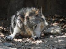 Mexicano Wolf Licking His Front Paw ao descansar imagem de stock royalty free