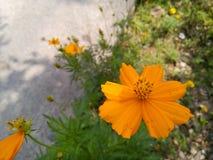 Mexicansk asterblomma för orange färg royaltyfria foton
