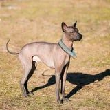 Mexicansk hårlös hund Xoloitzcuintli eller Xolo Arkivfoton