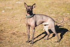 Mexicansk hårlös hund Xoloitzcuintli eller Xolo Arkivbild