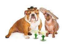 Mexicansk hårlös katt och bulldogg Cinco De Mayo fotografering för bildbyråer
