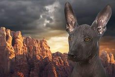 Mexicansk hårlös xoloitzcuintle förföljer Royaltyfria Bilder