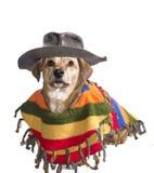 Mexicansk hund Fotografering för Bildbyråer