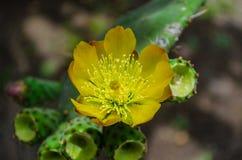 Mexicansk kaktus Fotografering för Bildbyråer