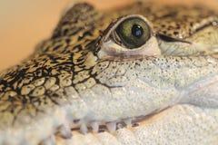 Mexicansk krokodil Fotografering för Bildbyråer