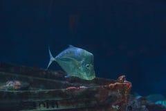 Mexicansk Lookdown fisk, Selenebrevoortii Arkivbilder