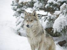 Mexicansk varg i snön royaltyfri bild