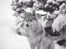 Mexicansk varg i sn?n royaltyfri bild