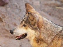 Mexicansk Wolfstående royaltyfria foton