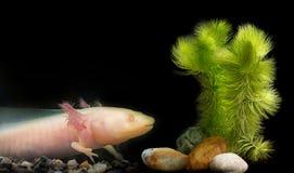 Mexicanum van Axolotlambystoma Royalty-vrije Stock Foto's