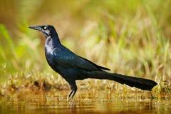 Mexicanus do Quiscalus, Grackle Grande-atado, pássaro comum de América Central Cena dos animais selvagens da natureza Grama do la imagem de stock