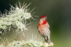 mexicanus för carpodacusfinchhus fotografering för bildbyråer