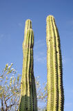 Mexico cactuses Royalty Free Stock Photography