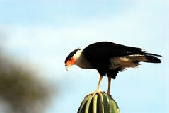 Mexico- Close Up of a Caracara Standing on a Cactus stock photo