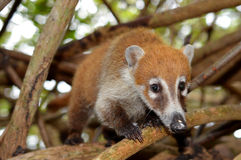 Mexico: Coati Royalty Free Stock Photo