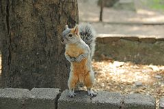 Mexico D.F. Chapultepec. A squirrel. Royalty Free Stock Images