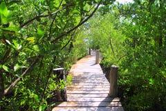 mexico för skogdjungelmangrove walkway arkivbild