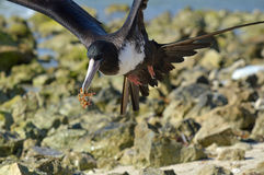 Mexico: Frigate Bird with Seaweed Stock Photo
