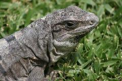 Mexico lizard Royalty Free Stock Photos