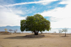 Mexico Oaxaca Monte Alban lonely tree and sky. And small trees Royalty Free Stock Photos