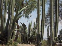 Mexico. Opuntia vulgaris  green teguila Stock Photos